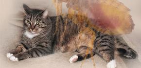 Bir kedi pire varsa ne yapmalı
