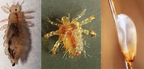 Bitlerin neye benzediği: Parazitlerin görünümü ve biyolojisinin özellikleri hakkında bilgi sahibi olmak
