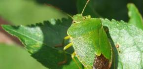 Ağaç böceği (shivnik)