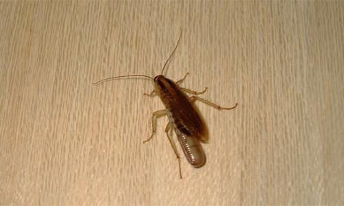Hamamböcekleri dairede saklandıkları yer ...