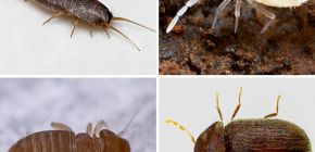 Apartmanda ne küçük böcekler bulunabilir