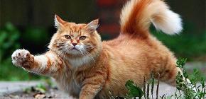 Bir kedi pire hızlı ve güvenli bir şekilde nasıl kaldırılır