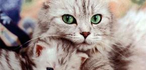 Kediler ve kedi yavruları için etkili pire ürünlerinin gözden geçirilmesi