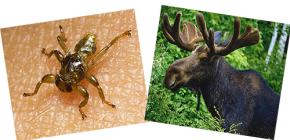 Elk pire nedir ve bir insanı ısırır mı