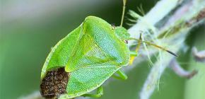 Koku böcekleri kim ve neden kokuyorlar?
