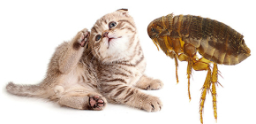 Kedi Pireler: İnsanlara Nasıl Bakıyor ve Tehlikeli