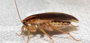 Hamamböceklerinin nereye gittiğini ve neden ortadan kaybolduğunu bulmak