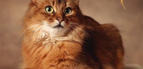 Bir kedi pire kurtulmak için nasıl: biz kendinize evcil hayvan davranıyoruz