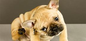 Köpekler ve köpek yavruları için en etkili pire yöntemlerinin gözden geçirilmesi