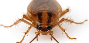 Çeşitli hamamböceği fotoğrafları