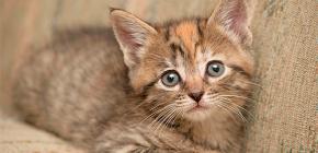 Bir yavru kedi pire nasıl getirebilirsiniz