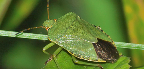 Yeşil bir böcek neye benziyor ve korkmaya değer mi?