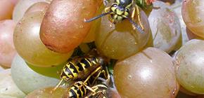 Üzüm hasadını yabani arılardan nasıl korur ve olgunlaşma döneminin tamamı boyunca korur