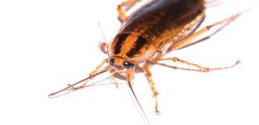Hamamböceği için etkili ilaç Global (Globol)