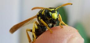 Eşek arısı ısırıklarının sonuçları: Bu böceklerin tehlikeli saldırıları ne olabilir?