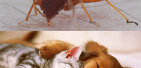 Tahtakuruları evcil hayvanları (kediler, köpekler, tavuk) ısırdı mı?