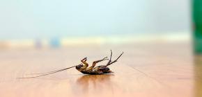 Hamamböceği için etkili bir zehir seçimi