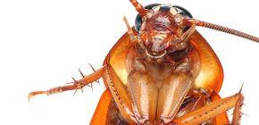 Hamamböceği farklı türleri fotoğrafları