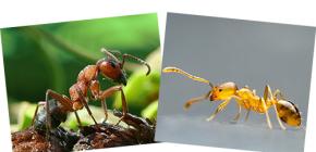 Kırmızı orman ve yerli karıncalar hakkında, ve onların farklılıkları