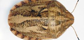 Böcek zararlı kaplumbağa (Eurygaster integriceps)