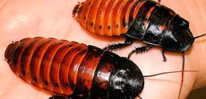 Madagaskar'ın hamamböceği teneffüs edilmesi ve evde bakımları hakkında