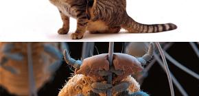 Kediler bitler ve evcil hayvan kılığından küçük parazitleri nasıl çıkarır