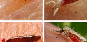 Yatakta veya kanepede ne tür kan emici böcekler bulunur?