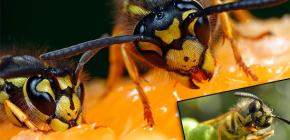Yaban arıları genellikle ne yiyor ve et yiyorlar?