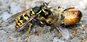 Arı kovanındaki eşekarısı ile mücadele yöntemleri: arıların saldırılardan nasıl korunacağı