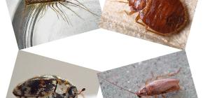 İnsan konutlarında ne tür bir iç böcek bulunabilir: parazitler ve zararlılar