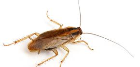 Çeşitli yerli hamamböceği fotoğrafları