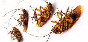 Hamamböceği karşı araziler