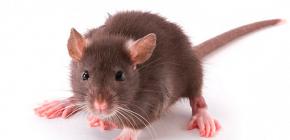 Apartmanda Rat pire ve onların ısırıkları