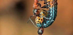Bir karınca ne kadardır ve ne kadar kilo alabilir?
