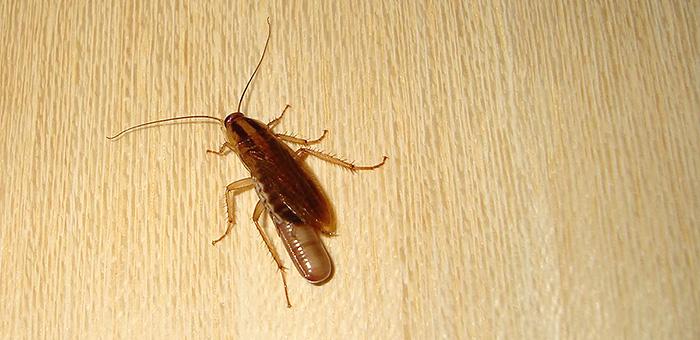 hamamböceği