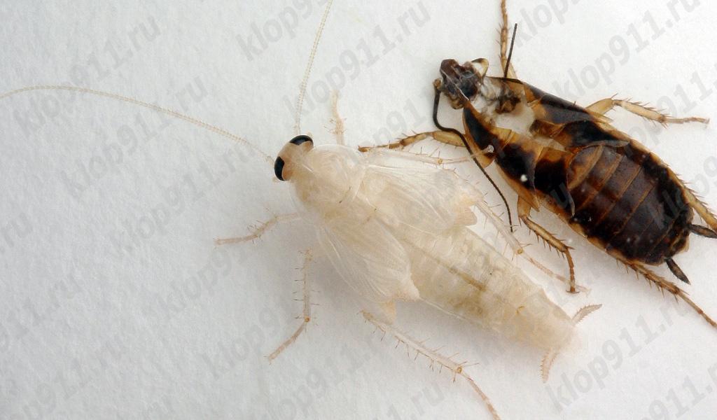 Kırmızı Hamam böceği dökülme