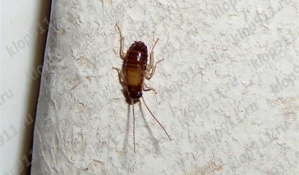 Hamamböceği perisi hiçbir kanatları vardır