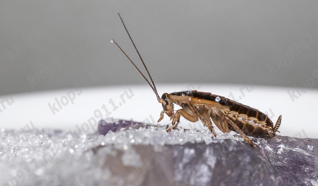 Omnivorous hamamböceği