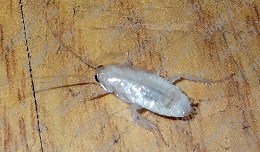 Albino hamamböceği