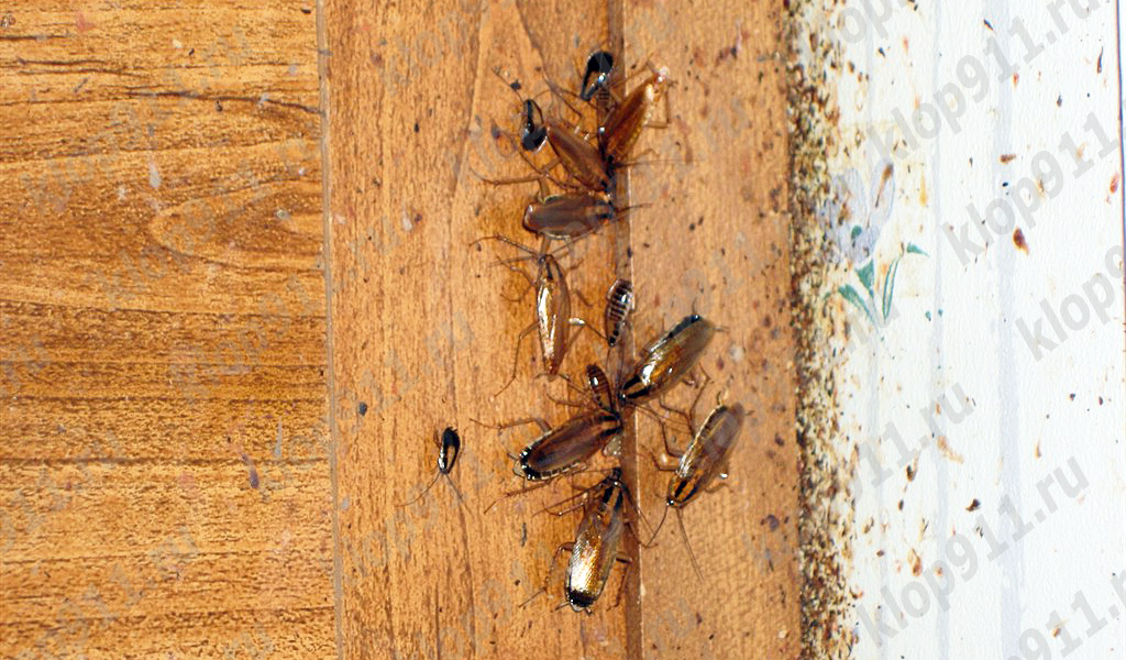 Hamamböceği pençeleri üzerinde Bakteriler